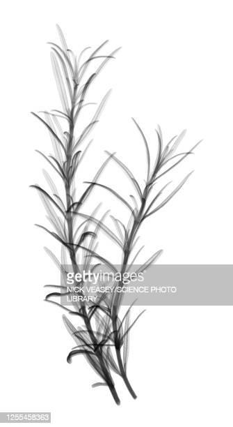 rosemary, x-ray - ローズマリー ストックフォトと画像