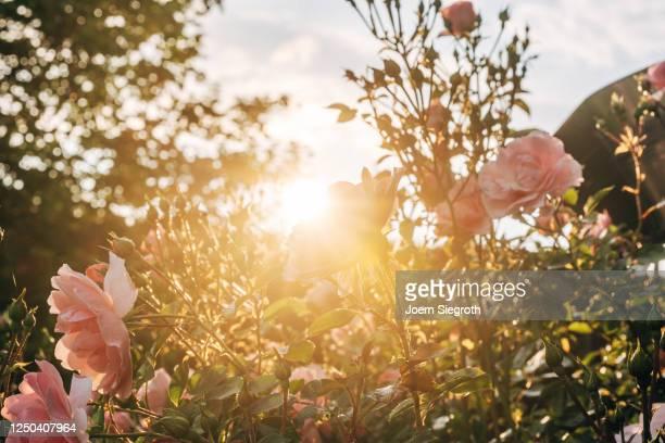 rosen aus dem garten im gegenlicht - sunshine and flowers stock pictures, royalty-free photos & images