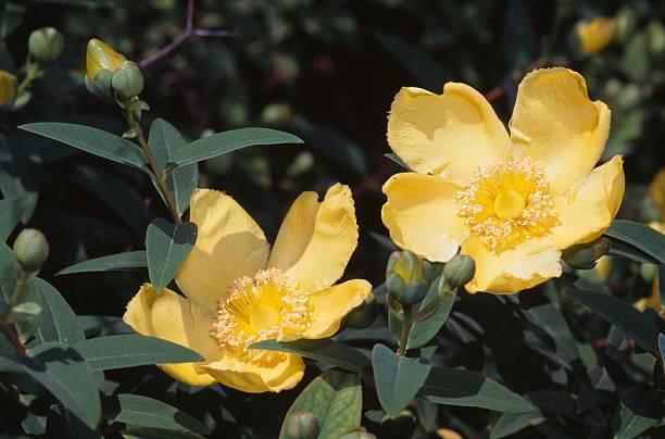 Rose Of Sharon Hypericum Calycinum Pictures Getty Images