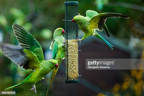 rose-ringed or ring-necked parakeets - パラキート ストックフォトと画像
