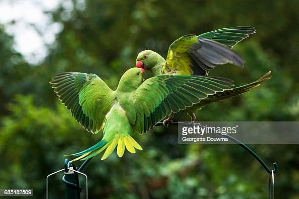 rose-ringed or ring-necked parakeets - ワカケホンセイインコ ストックフォトと画像