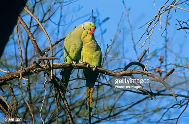 Rose-ringed Parakeet, India.