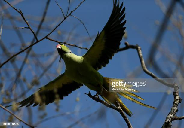 Rose-ringed parakeet is seen flying in Izmir, Turkey on February 18, 2018. Their natural living environments are Africa and South Asia. They use palm...