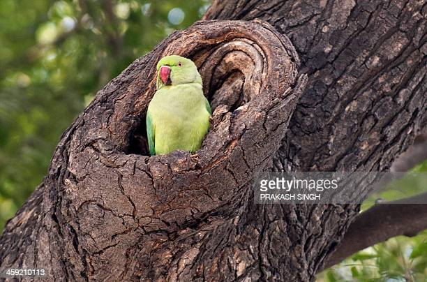 A roseringed parakeet looks on from its nest in New Delhi on December 24 2013 The species is endemic across South Asia and parts of Africa AFP...