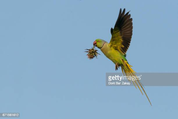 rose-ringed parakeet ( psittacula krameri) male with holy thistle - ワカケホンセイインコ ストックフォトと画像