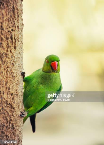 rose-ringed parakeet on the wall - パラキート ストックフォトと画像