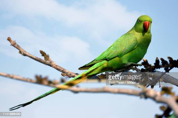 rose-ringed parakeet(psittacula krameri) perching on branch - ワカケホンセイインコ ストックフォトと画像