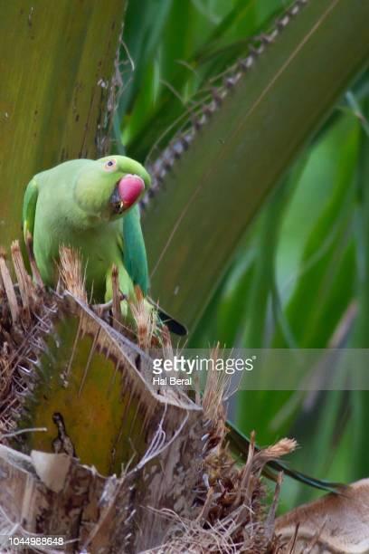 rose-ringed parakeet - ワカケホンセイインコ ストックフォトと画像