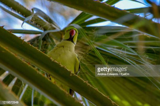 rose-ringed parakeet - st. albans stock pictures, royalty-free photos & images