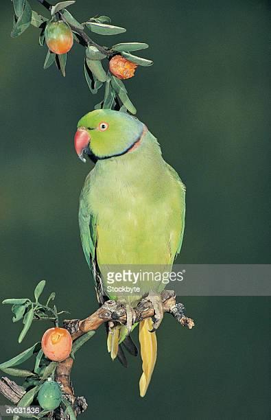 rose-ringed parakeet (psittacula krameri) - ワカケホンセイインコ ストックフォトと画像