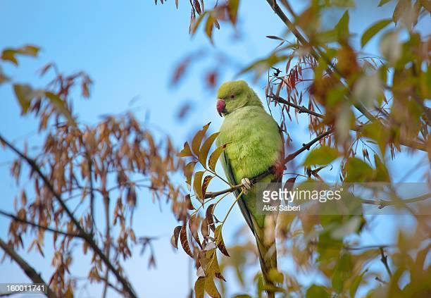 a rose-ringed parakeet, psittacula krameri, amid autumn foliage. - alex saberi stock pictures, royalty-free photos & images
