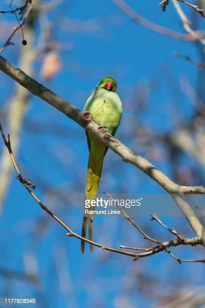 rose-ringed parakeet, psittacula krameri, in the spring - ワカケホンセイインコ ストックフォトと画像