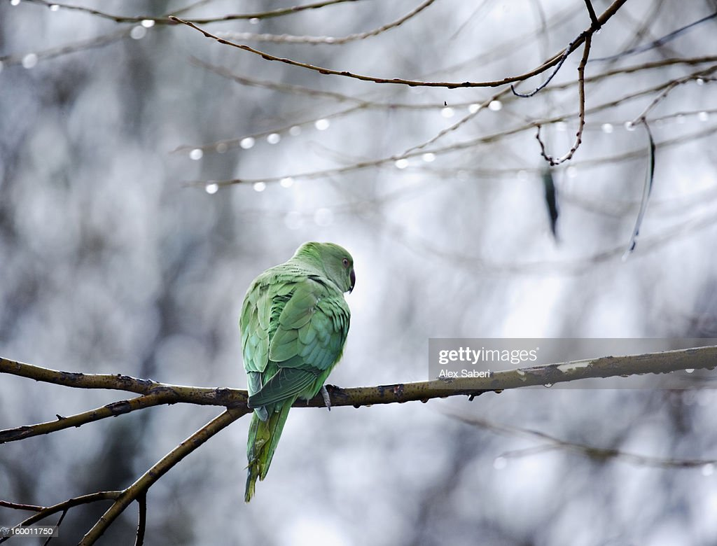 A rose-ringed parakeet, Psittacula krameri, on a branch in winter. : Stock Photo