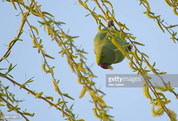 a rose-ringed parakeet, psittacula krameri, rests on a branch. - alex saberi stock pictures, royalty-free photos & images