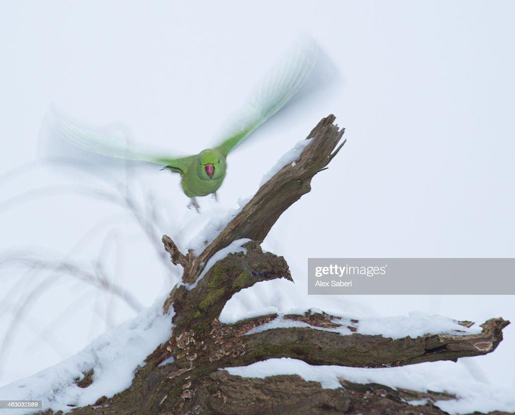A rose-ringed parakeet, Psittacula krameri, takes flight on a snowy winter's day. : Stock Photo