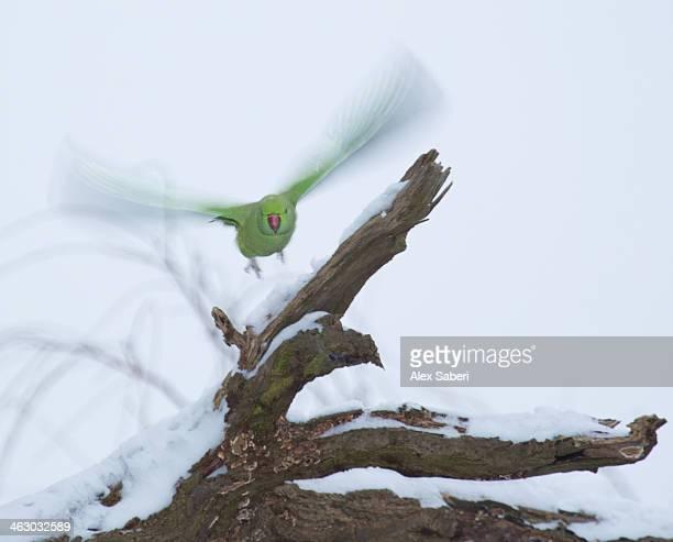 a rose-ringed parakeet, psittacula krameri, takes flight on a snowy winter's day. - alex saberi imagens e fotografias de stock