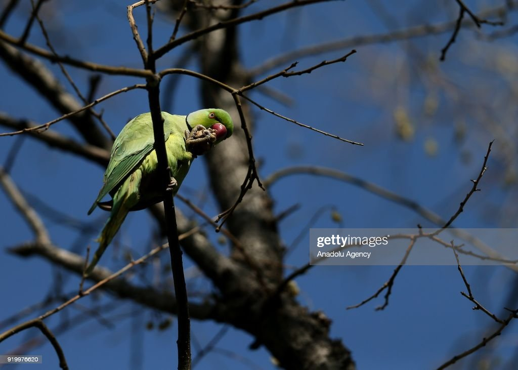 Rose-ringed parakeets of Turkey's Izmir : ニュース写真
