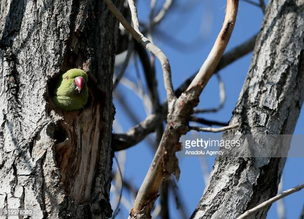 Rose-ringed parakeet sticks its head out of a nest in a tree in Izmir, Turkey on February 18, 2018. Their natural living environments are Africa and...