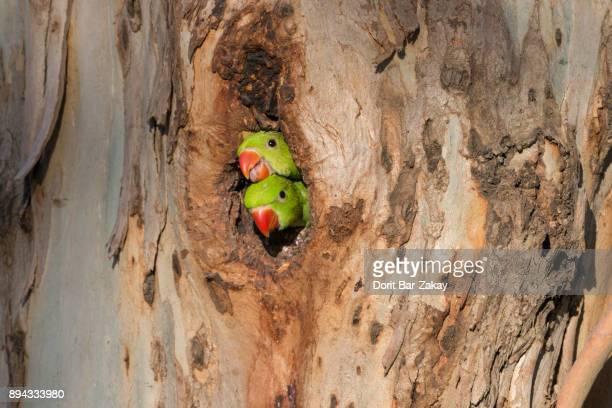 rose-ringed parakeet (psittacula krameri) two chicks peep from their nest - parakeet stock photos and pictures