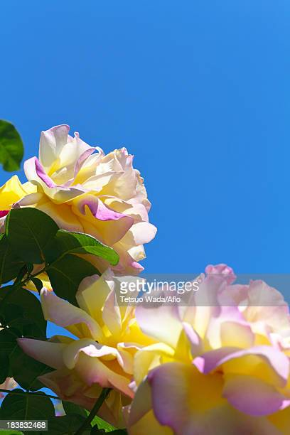 Roses and blue sky