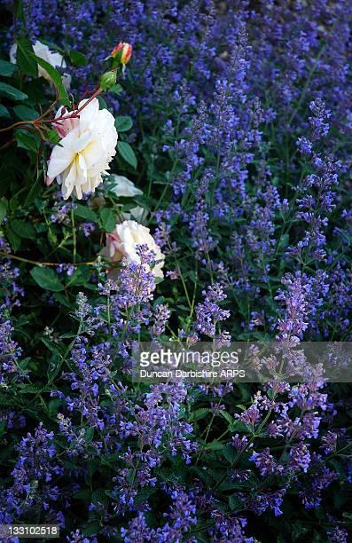 roses and catmint - kattmynta bildbanksfoton och bilder