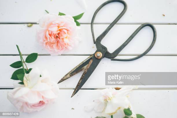 Roses and scissors on white wooden table