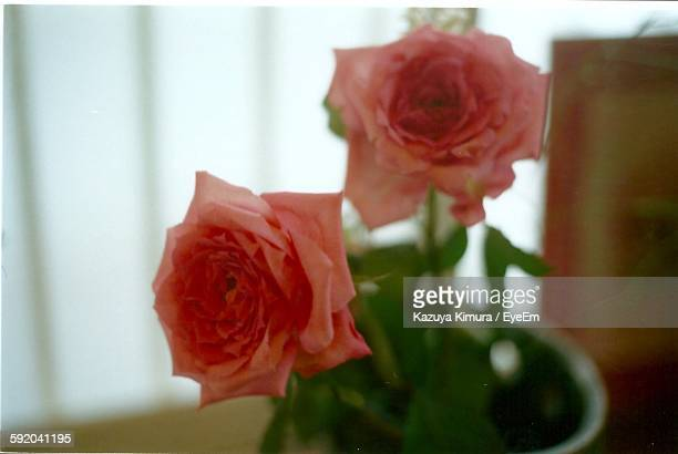 roses blooming in vase at home - at home ストックフォトと画像