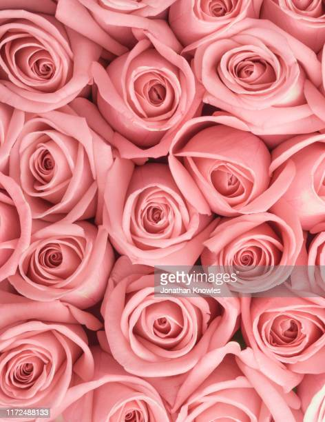 roses close up - pink flowers stock pictures, royalty-free photos & images