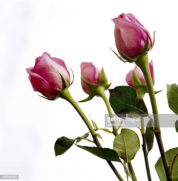 roses (rosa sp.), close-up - bud stock pictures, royalty-free photos & images