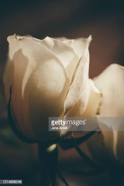 roses closeup, white rose, dark flowers - jena rose stock pictures, royalty-free photos & images