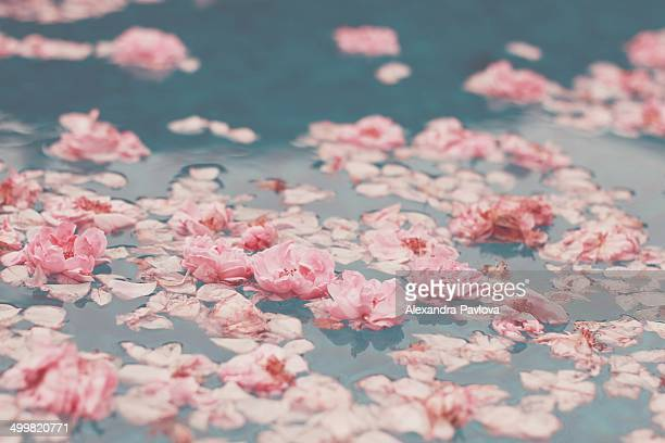 roses floating on water - 水に浮かぶ ストックフォトと画像