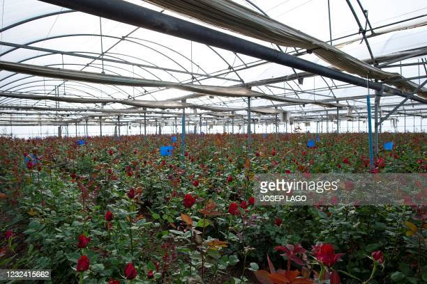 Roses grow in a greenhouse ahead the Sant Jordi festival in Santa Susanna near Barcelona on April 20, 2021. - The florists' guild estimates that over...