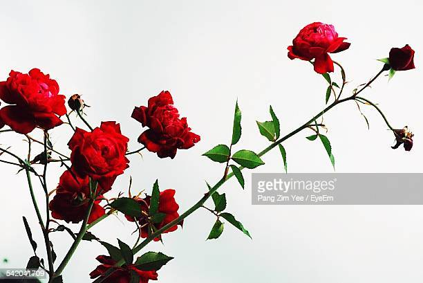 Roses Growing Against White Background