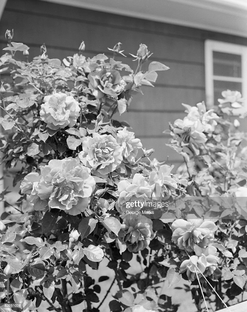 Roses growing outside house : Stock Photo