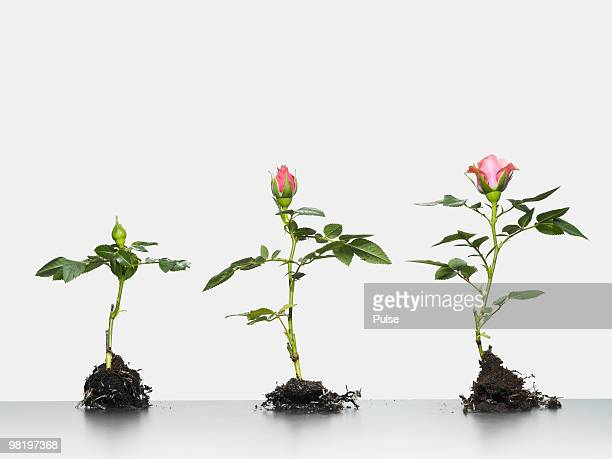 roses growing side by side. - magnoliopsida stock photos and pictures