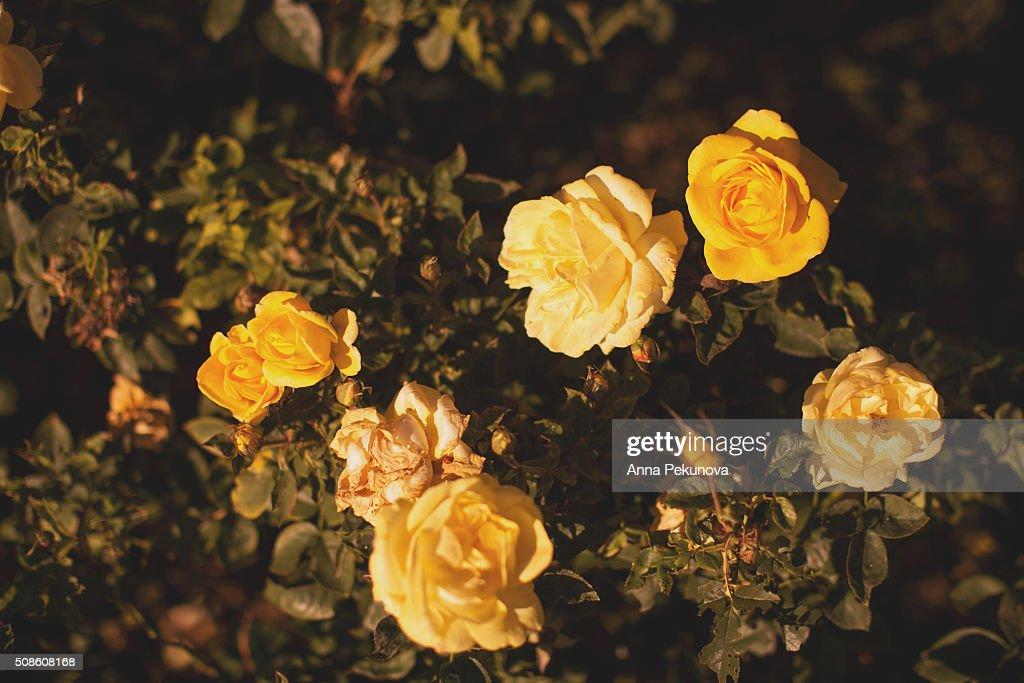 Roses in  Rose garden at Buen Retiro park, Madrid : Stock Photo
