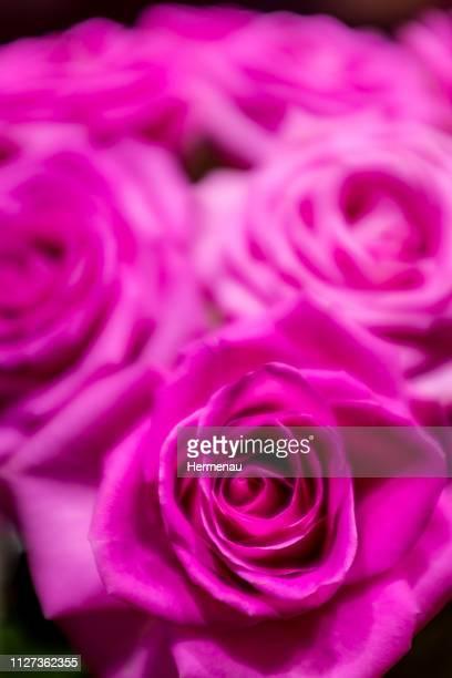 Roses in rose