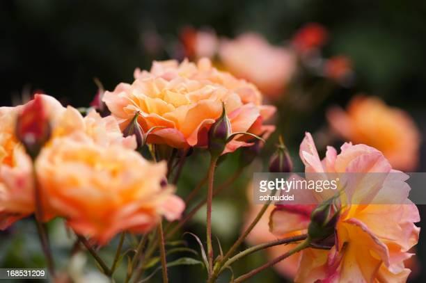 Rosen in der Theke-light