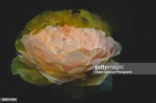 roses in the darkness - flowering plant stock photos and pictures