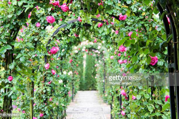 Roses in the Garden of the Generalife, Alhambra Palace, Granada