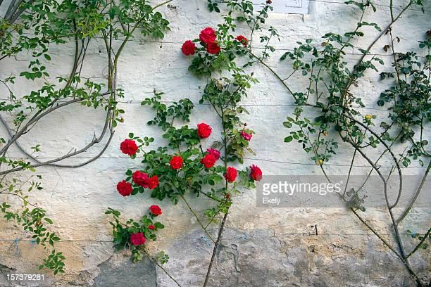 Roses sur un mur blanc.