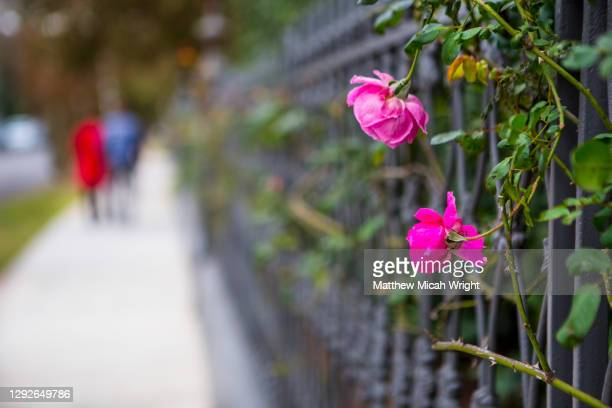 roses on houses of the garden district in new orleans. - creole culture stock pictures, royalty-free photos & images