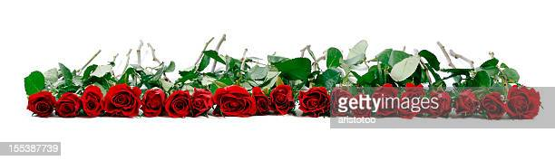 roses on white background - rosaceae stock photos and pictures