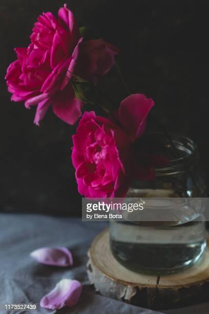 roses - elena blume stock-fotos und bilder