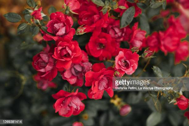 roses - red roses garden stock pictures, royalty-free photos & images