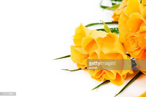 roses - yellow roses stock photos and pictures