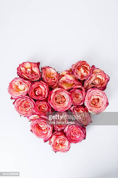 roses - julia rose stock photos and pictures