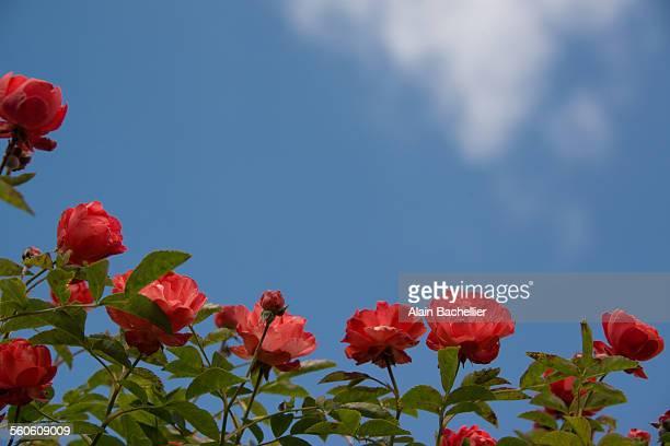 roses - alain bachellier photos et images de collection