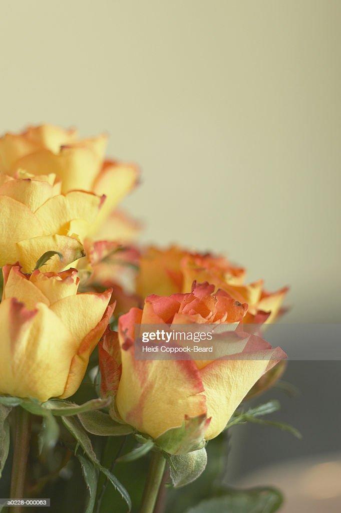Roses : ストックフォト
