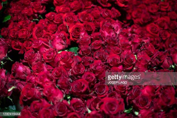 Roses rest in a refrigerator ahead the Sant Jordi festival in Santa Susanna near Barcelona on April 20, 2021. - The florists' guild estimates that...